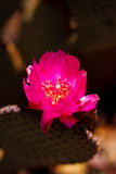 Beaver Tail Cactus pink flower blossom Royalty Free Stock Photography