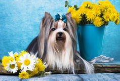Beaver terrier. And lDandelions flowers royalty free stock images