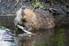 Beaver in the Tetons Royalty Free Stock Photos