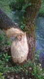 Beaver tree stock photography
