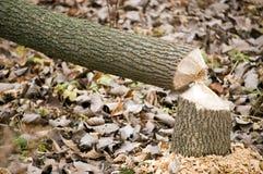 Beaver Tree Damage Stock Images