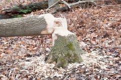 Beaver Tree Damage Stock Photography