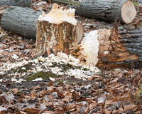 Beaver Tree Damage Stock Images