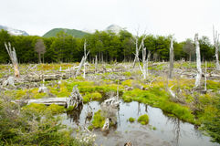 Beaver Tree Deforestation - Tierra Del Fuego - Argentina Royalty Free Stock Photo