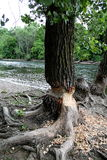 Beaver tree at river in South Bend Indiana Stock Image