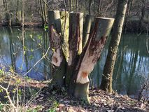 Beaver tree trunk Royalty Free Stock Images