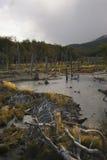 Beaver Verdammung in einem Fluss mit schöner Färbung des Grases während der goldenen Stunde Lizenzfreies Stockbild