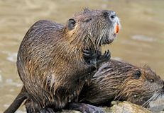 Beaver wash Stock Photo
