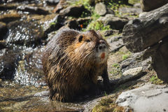 A beaver Royalty Free Stock Photography