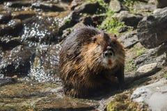 A beaver Royalty Free Stock Photos