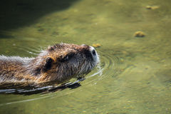 A beaver Royalty Free Stock Image