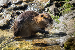 A beaver Royalty Free Stock Images