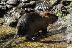 A beaver Stock Images