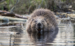 Beaver in water. Beaver in close up with teeth royalty free stock photo
