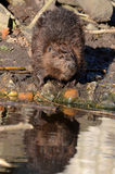 Beaver by the water's edge Royalty Free Stock Photography