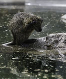 Beaver. Water treatments moustached Beaver on the shore Royalty Free Stock Photo