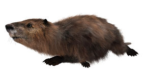 Beaver on White Royalty Free Stock Photo