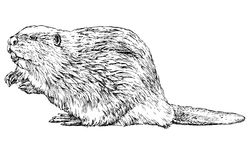 Beaver on white. Beaver - hand drawn vector illustration, isolated on white Stock Photography