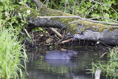 A beaver in the wild Royalty Free Stock Image