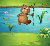 A beaver with a wood in the river Stock Photography