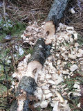 Beaver Work. Evidence of beavers working on tree branch Stock Photo