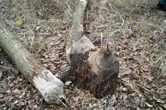 Beaver work. Stock Image