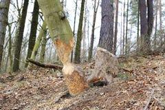 Free Beaver Work Royalty Free Stock Image - 39111816