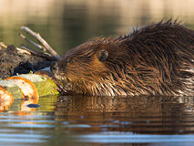 Beaver at Work. A beaver fashions a log with strong, sharp teeth royalty free stock photo