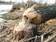 Beaver work. Beaver building a dam (in poland royalty free stock images