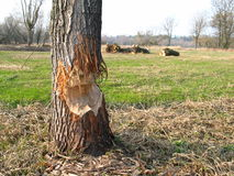 Beaver work. Tree eaten by beaver stock image