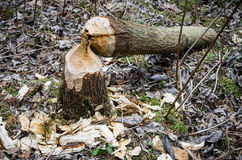Beaver work Stock Photos