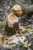 Beaver work Royalty Free Stock Photo