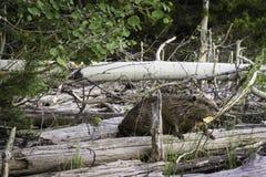 Beaver working Royalty Free Stock Image