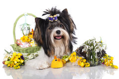 Beaver yorkshire terrier Stock Images