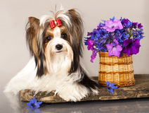 Beaver Yorkshire Terrier and flower Royalty Free Stock Image