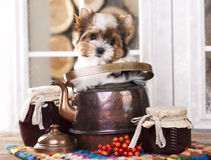Beaver Yorkshire Terrierin puppy in copper kettle Stock Photography