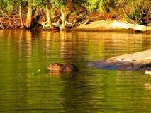 beaver zajęty Zdjęcia Stock