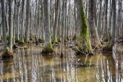 Beaverdam小河紫树沼泽 库存图片