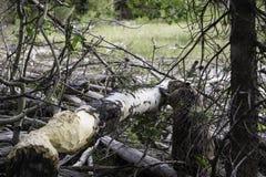 Beavers обедающий Стоковое фото RF