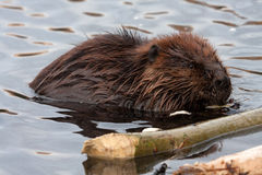 Beavers Royalty Free Stock Image