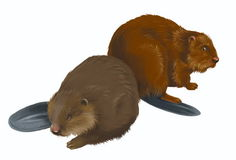 Beavers Stock Image