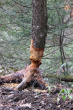 Beavers Art. The work of a beaver on a tree Royalty Free Stock Images