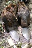 Beavers Stock Image
