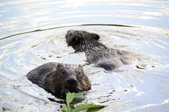 Beavers Royalty Free Stock Images