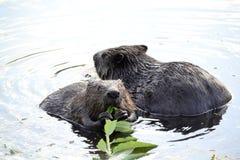 Beavers Royalty Free Stock Photography