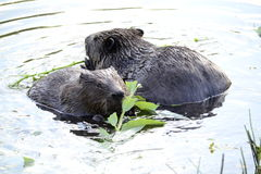 Beavers Stock Photography