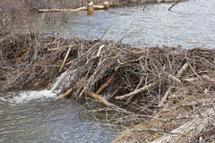 Beavers dam of twigs Royalty Free Stock Photo