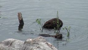 Beavers eat in water dams on background of dry logs and trees in Ushuaia. stock video