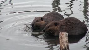 Beavers eat in water dams on background of dry logs and trees in Ushuaia. stock video footage