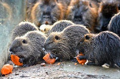 Beavers Royalty Free Stock Photo